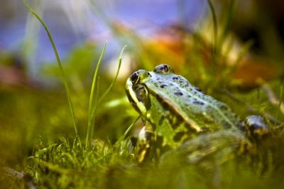 Frosch am See