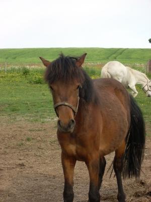 Pony auf der Koppel