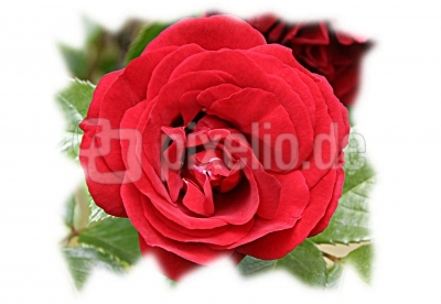 Rose auf Rügen