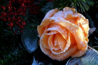 Eis-Rose