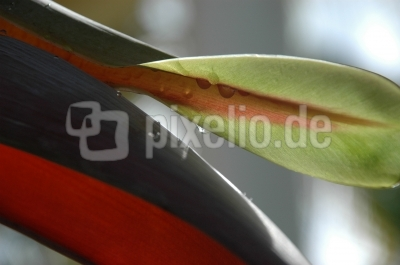 Bananenblüte 06