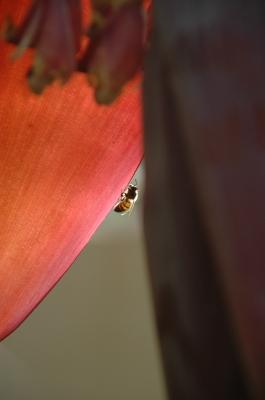 Banaenblüte 05