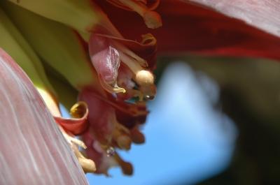 Bananenblüte 04