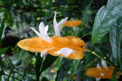 brasilianische Blüte