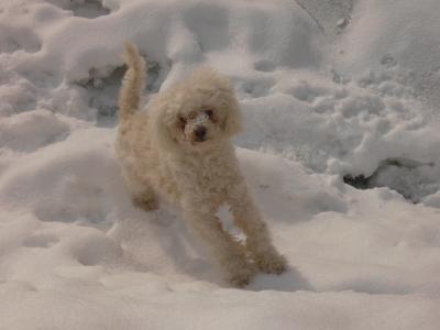 Ein Pudel im Schnee