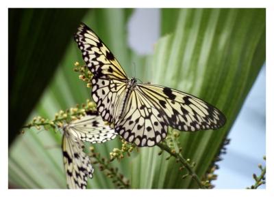 Schmetterlingsduo