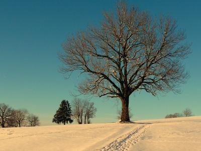 Esche im Winter