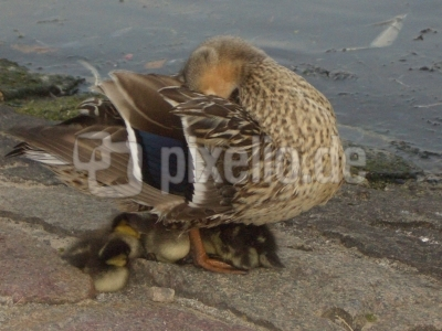 Ente mit Nachwuchs