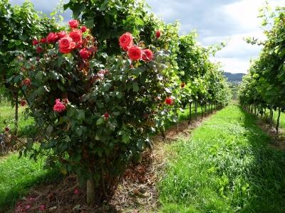 Rosenstock am Rande der Weinreben