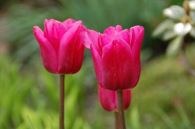 Tulpen 21
