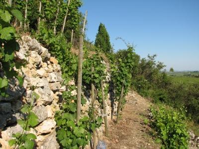 Weinstöcke am Steilhang