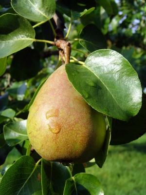 Alte Birnensorte
