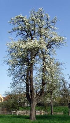 Blühender gigantischer Birnbaum auf Obstbaumwiese