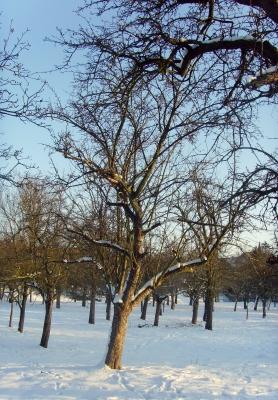 Obstbaumwiese im Winter