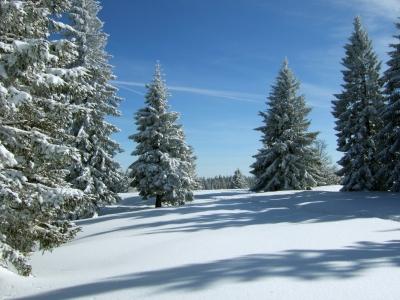 Verschneite Tannen unter blauem Himmel_2