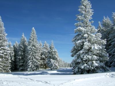 Verschneite Tannen unter blauem Himmel_5