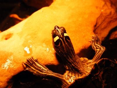 Höckerschildkröte