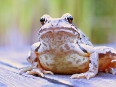 Frosch auf dem Steg
