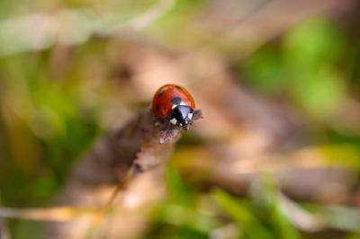 Marienkäfer beim Sonnenbaden (überarbeitet)