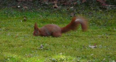 buddelndes Eichhörnchen