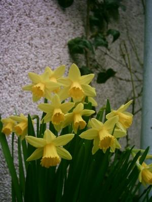 yellow_narcissus