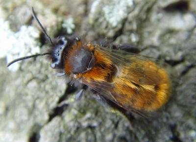 Gehörnte Mauerbiene (Osmia cornuta) im März auf einer Streuobstwiese I