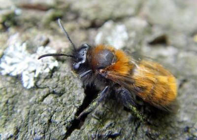 Gehörnte Mauerbiene (Osmia cornuta) im März auf einer Streuobstwiese II