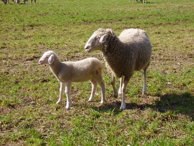 Kleine Schaffamilie