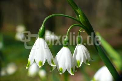 Frühlings-Knotenblume