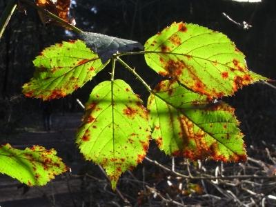 Blätter rosten?