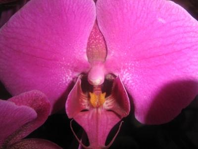Orchidee_violett_01