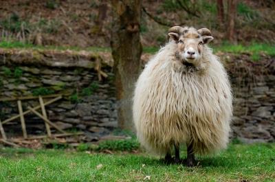 Extrem wolliges Schaf