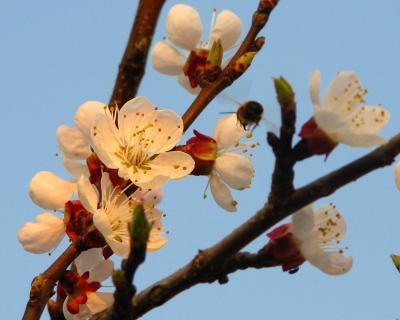 Marillenblüten mit Biene im Anflug