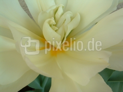Kaisertulpenblüte Exotic-Emperor