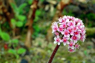 Das Schildblatt (Darmera peltata)
