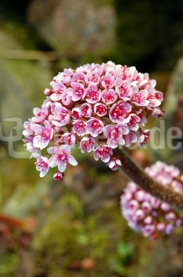 Das Schildblatt (Darmera peltata) #2