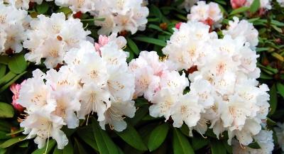 zarte Rhododendronblüten