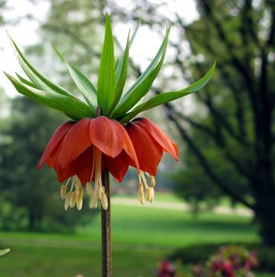 Die Kaiserkrone (Fritillaria imperialis)