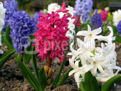Im Hyazinthenbeet (Hyacinthus orientalis)