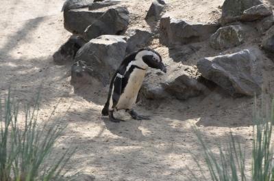 Pinguin mit gesenktem Kopf