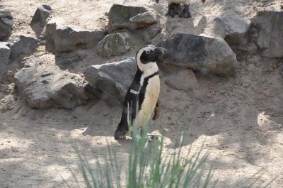 Pinguin mit stolzer Brust