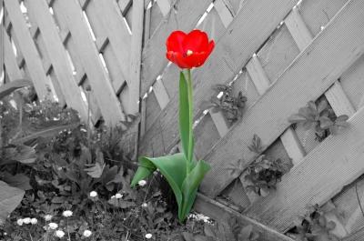 rote tulpe auf s/w