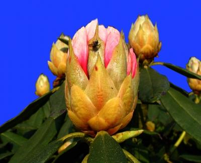 Rhododendronknospe hat Besuch