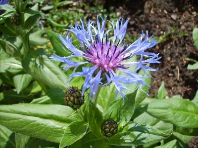 Kostenloses Foto: Blaue Blumen Im Garten - Pixelio.De