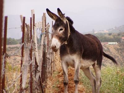 Ein sizilianischer Esel