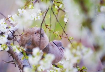 Schlafende Tauben auf einem Kirschbaum