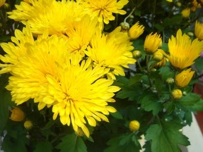 gelbe Chrysanthemen