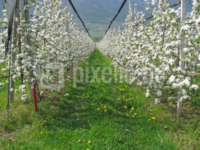 Südtirol: Apfelblüte 01