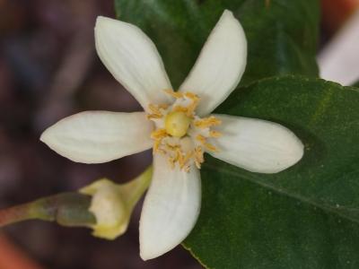 zitronenbaumblüte
