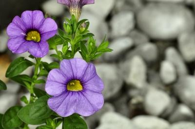 Petunia on the rocks